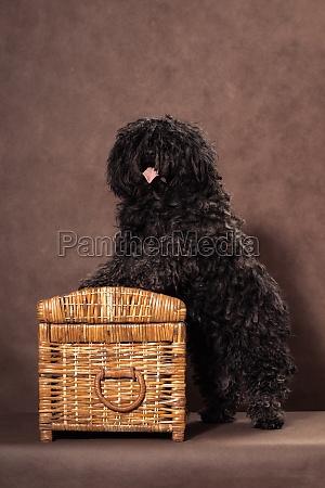 a small shaggy black brown dog