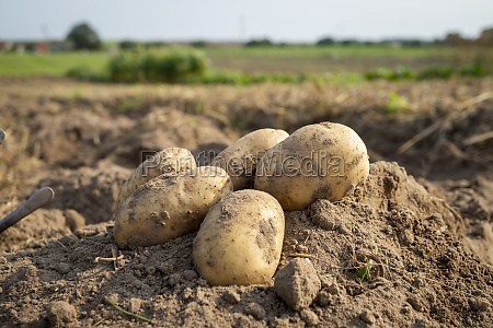 newly dug or harvested potatoes in