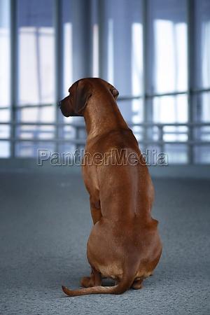 rhodesian ridgeback dog sits backwards to