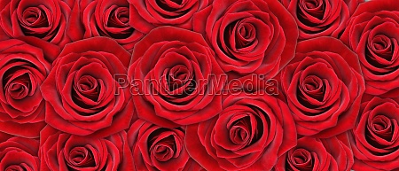 beautiful rose background for valentines day