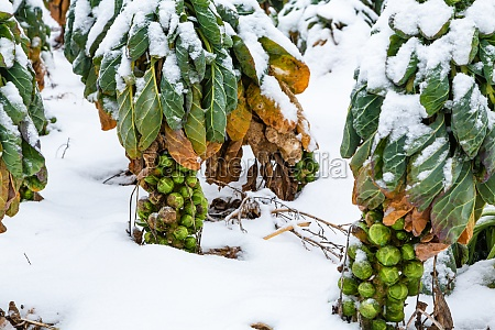 green brussels sprouts in winter