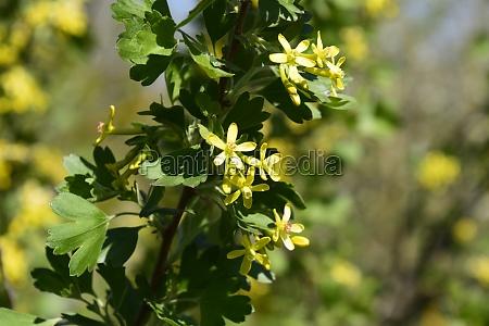 flowering currant bush gold