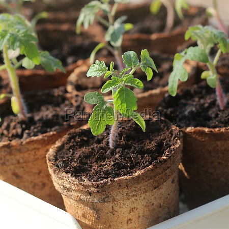 potted seedlings growing in biodegradable peat