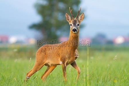 roe deer looking on meadow behind