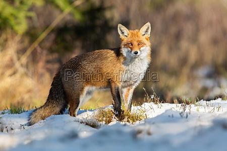 red fox observing on snowy field