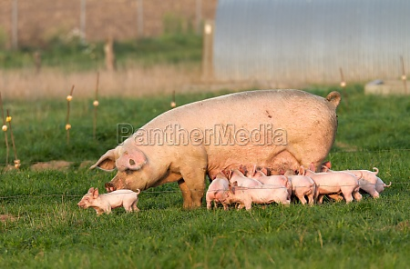 piglets press mother to suckle