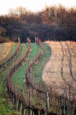 autumnal vineyard in burgenland
