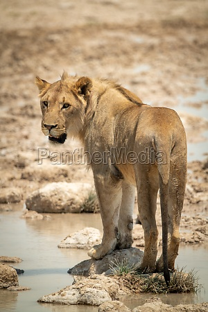 lion stands on stepping stones looking