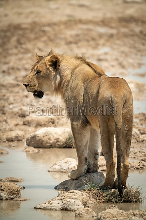 lion stands on stepping stones turning