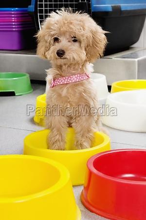 puppy sitting in a dog bowl