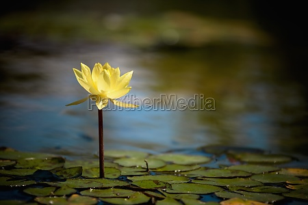 water lily with lily pads in