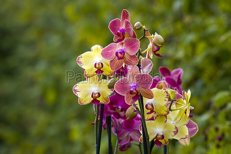 beautiful orchid flowers phalaenopsis