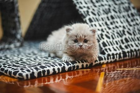kitten lies near cat house smoky