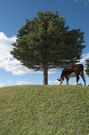 cow grazing in a field cordillera