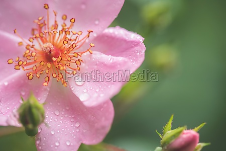 beautiful pink flower petals with water