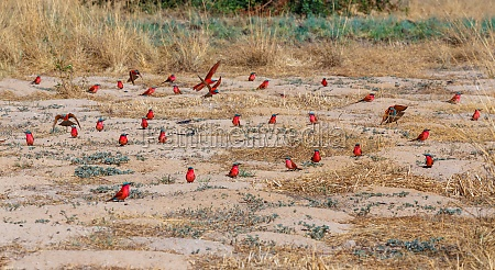 large nesting colony of northern carmine