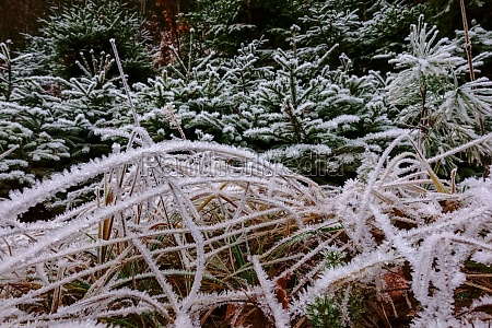 frozen grasses and pine trees while