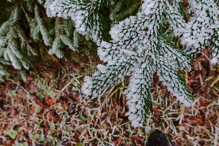 frozen pine tree in autumn detail