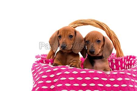 teckel puppies