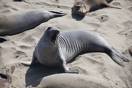 sea lions on the beach california