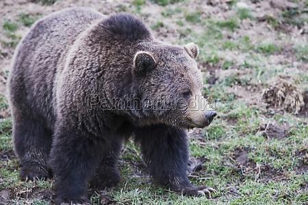 brown bear ursus arctos in a