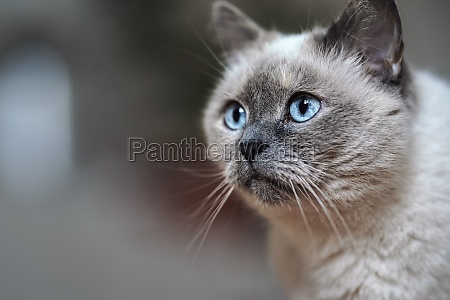 older gray cat with piercing blue