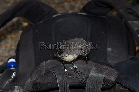 stewart island robin on a backpack