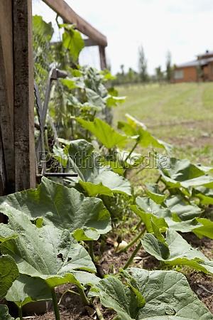 gourd vine in a field