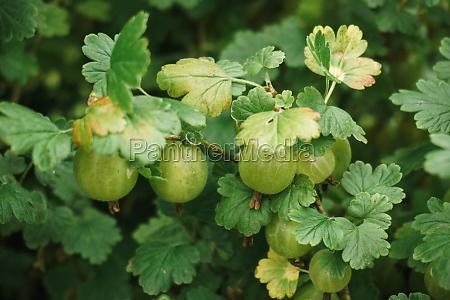 fresh green gooseberries on a branch
