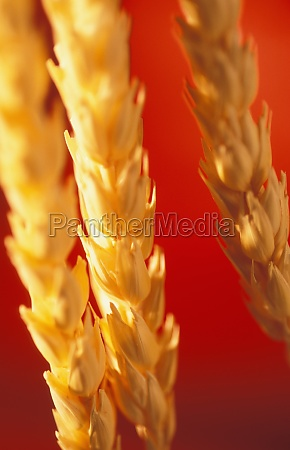 closeup of ripe wheat ears