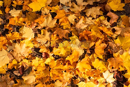 background of autumn leaves autumn background