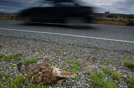swamp harrier run over