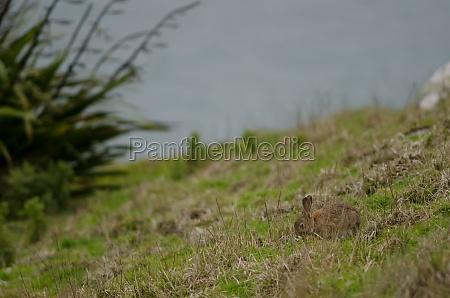 european rabbit grazing