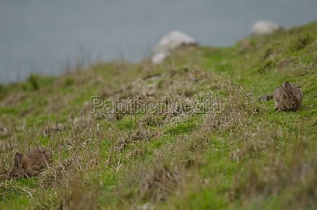 european rabbits grazing