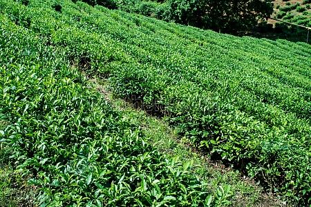 green tea farm in spring tea