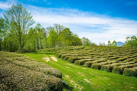 krasnodar tea plantations in solokhaul