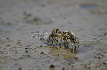 tunnelling mud crabs threatening each other