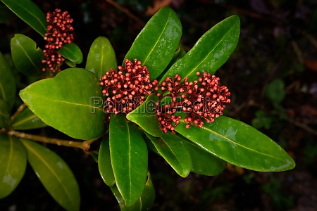 budded inflorescences of a skimmia japonica