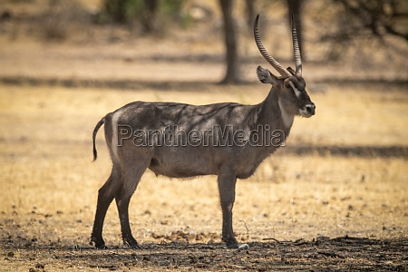 male common waterbuck stands in dappled