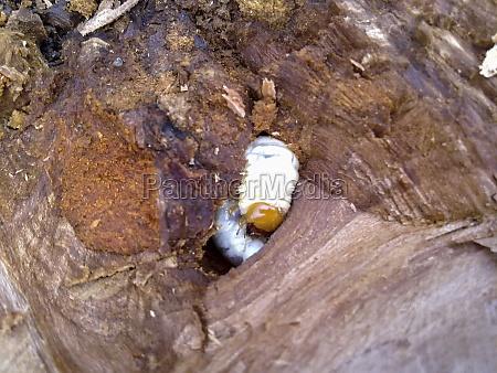 larva of a bark beetle in