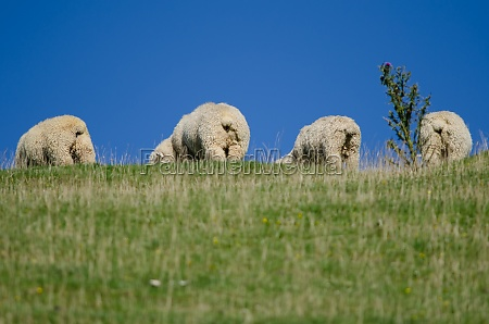 sheep ovis aries grazing