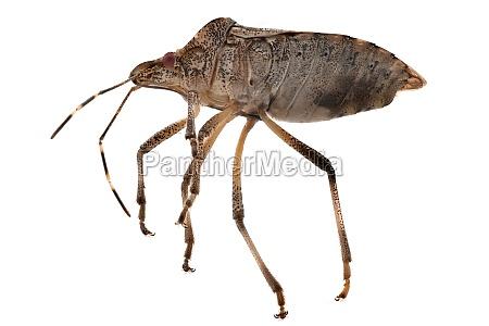 true bug close up