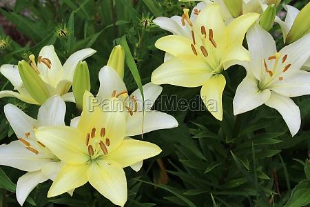 pale yellow daylily flowers