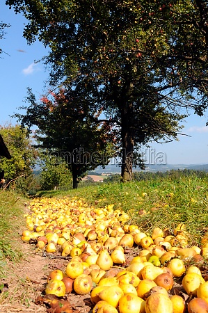 cider pears on the ground