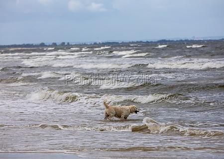 golden retriever plays in the water