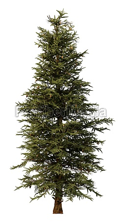3d rendering blue spruce on white
