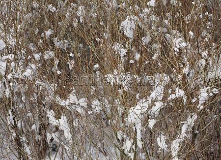shrub snow winter