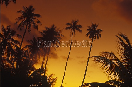 silhouette of coconut trees hawaii usa
