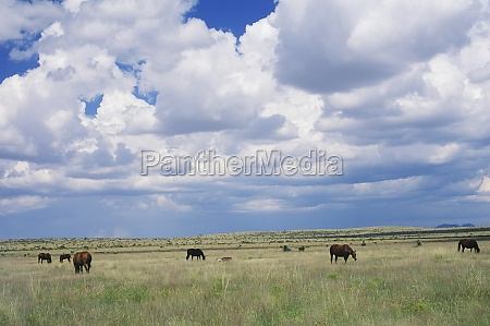 horses grazing in a field texas