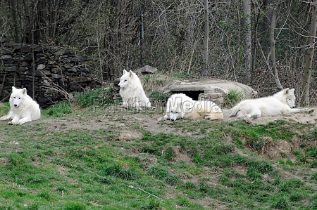 white wolves at the zoo